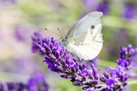 White butterfly on violet lavender