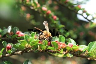 Zwergmispel-Blüte mit Biene