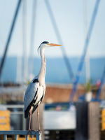 Great blue heron sitting at the marina of Rust in Burgenland