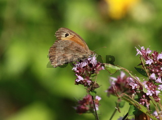 Schmetterling, Ochsenauge auf Origano