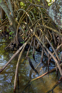 Roots and vegetation typical of mangroves on tropics