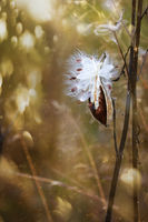 Milkweed pods opening with seeds about to blow in the wind