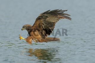 Schwarzer Milan, Milvus migrans, Black Kite