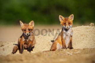 Two red fox cubs sunbathing in springtime nature