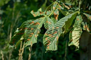 Durch die Miniermotte (Cameraria ohridella) geschädigte Blätter einer Rosskastanie