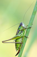 insect Roesel's Bush-cricket on a green grass leaf