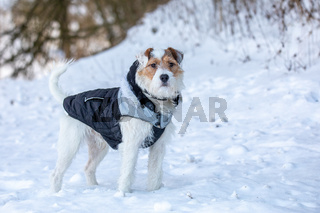 dog parson russell terrier breed