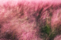 Field of Pink Muhly grass