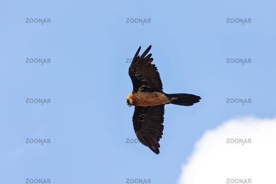 Bearded Vulture, Simien Mountain Ethiopia