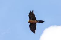Bearded Vulture, Simien Mountain Ethiopia