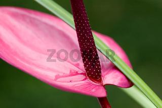 Purple flamingo flower over dark back ground