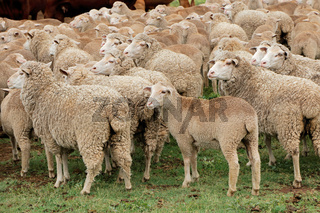 Free-range merino sheep on a rural South African farm