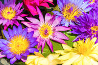 Water lotus nelumbo flowers