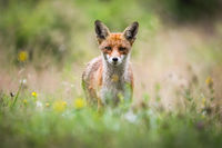 Red fox looking to the camera on blossoming meadow in summer
