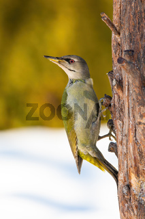 Adult grey-headed woodpecker perched on the tree in winter