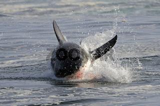 der Weisse Hai (Carcharodon carcharias), mit Blut vor dem Maul