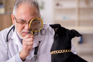 Old male vet doctor examining dog in the clinic