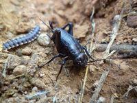 Adult Black Cricket, Gryllus bimaculatus, Satara, Maharashtra, India