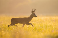 Roe deer buck walking on meadow in summer morning sunshine
