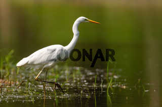 Adult great egret hunting in the lake with one leg up on sunny day