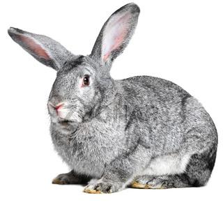 Grey house rabbit on white background