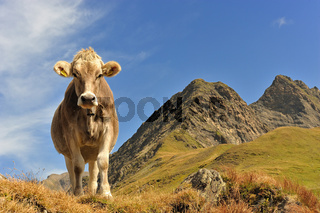 Cow… queen of the mountains