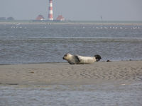 Seehund - common seal