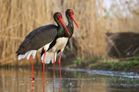 Couple of black storks standing in the wetland in spring