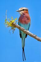 Gabelracke, Etosha NP, Namibia (Coracias caudatus) | lilac-breasted roller, Etosha NP, Namibia (Coracias caudatus)