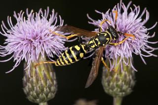 Gallische Feldwespe, Polistes dominula, European Paper Wasp