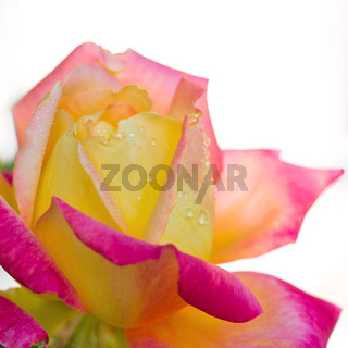 Rosebud with pink petals isolated on white background.