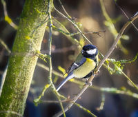 Great tit bird sitting in tree