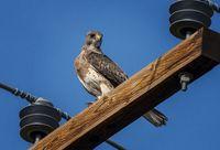 Swainson Hawk on Pole
