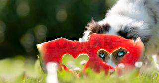Dog; Australian Shepherd looks through the heart in a watermelon with blue eyes