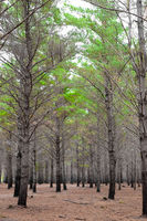 Rows of trees in a Pine Forest Plantation