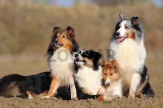 Shetland Sheepdog und Australian Shepherd