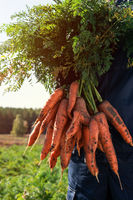 Farmer hands in gloves holding bunch of carrot
