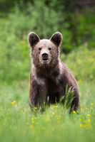 Brown bear looking to the camera on blossom meadow