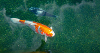 Koi fish in pond swimming and relaxing  duribg a sunny day