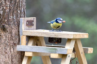 Blue Tit on a wooden table with a peanut in its beak