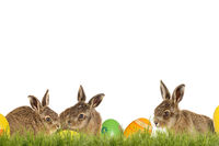 Three little Easter bunnies with Easter eggs on a green meadow isolated on a white background