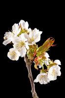 Detailaufnahme von einem Ast des Kirschbaumes mit Blüten, Knospen und Blätter vor unscharfem Hinterg