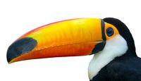 Exotic Toco Toucan bird
