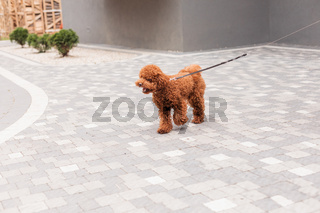 Woman walking in the city with brown Toy Poodle