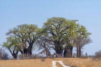 Old baobab trees along Nxai Pan, Botswana