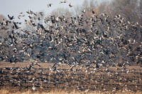 Flock of greylag goose taking off from field in autumn nature