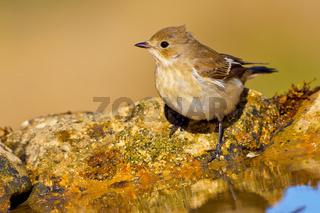 Pied Flycatcher, Forest Pond, Mediterranean Forest, Spain