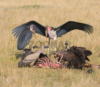 vultures and marabou feedind, masai mara, kenya