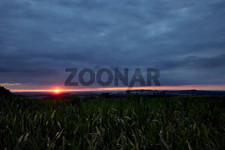 Sonnenuntergang über einem Maisfeld
