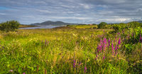 Meadow with wildflowers and lagoon, Ring of Kerry